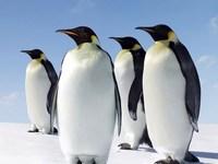 Добравшийся до границы с Азербайджаном пингвин возвращается в Грузию